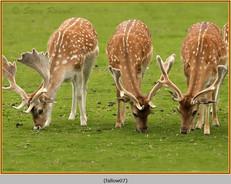 fallow-deer-07.jpg