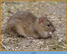 brown-rat-26.jpg