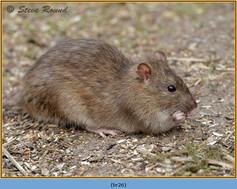 brown-rat-26.jpg