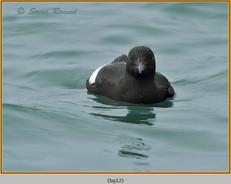 black-guillemot-12.jpg