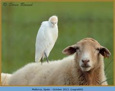 cattle-egret-60.jpg