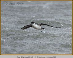 manx-shearwater-08.jpg
