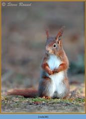 red-squirrel-38.jpg
