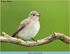 spotted-flycatcher-38.jpg