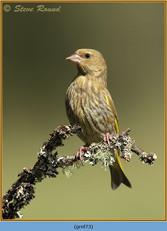 greenfinch-73.jpg