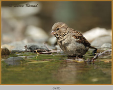 house-sparrow-23.jpg
