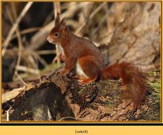 red-squirrel-18.jpg