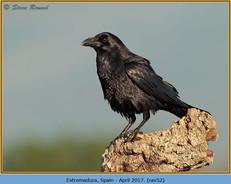 raven-52.jpg