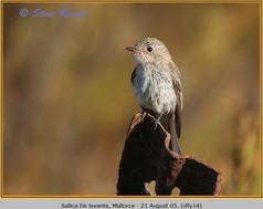spotted-flycatcher-14.jpg