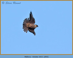 eleonoras-falcon-03.jpg