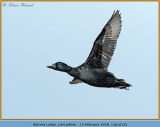 common-scoter-12.jpg