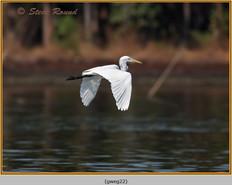 great-white-egret-22.jpg