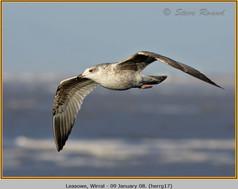 herring-gull-17.jpg