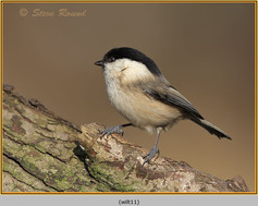 willow-tit-11.jpg