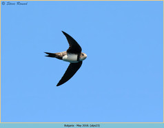 alpine-swift-23.jpg