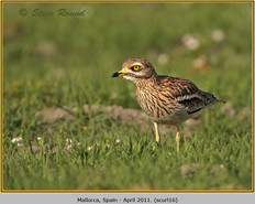 stone-curlew-16.jpg