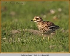 stone-curlew-16.jpg