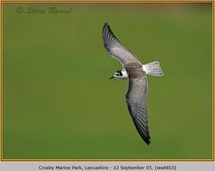 white-winged-black-tern-03.jpg