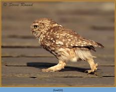 little-owl-20.jpg