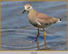 white-tailed-lapwing-20.jpg