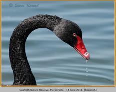 black-swan-06.jpg