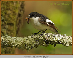 pied-flycatcher-21.jpg