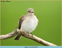 spotted-flycatcher-40.jpg