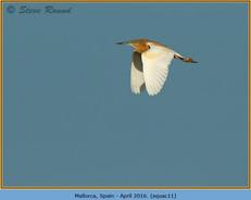 squacco-heron-11.jpg