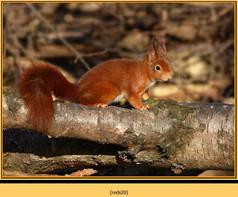 red-squirrel-20.jpg