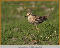 stone-curlew-03.jpg