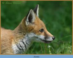 fox-66.jpg