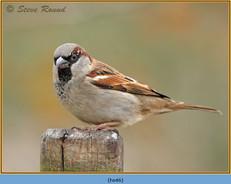 house-sparrow-45.jpg