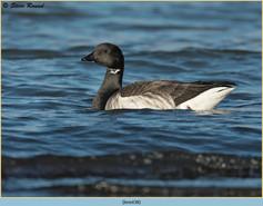 brent-goose-38.jpg