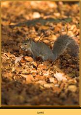 grey-squirrel-6.jpg