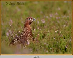 red-grouse-112.jpg