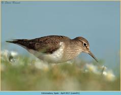 common-sandpiper-31.jpg