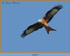 red-kite-47.jpg
