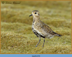 golden-plover-43.jpg
