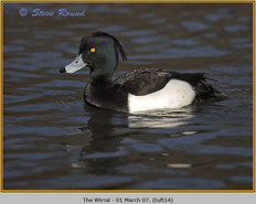 tufted-duck-14.jpg