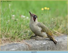 green-woodpecker-37.jpg