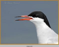 common-tern-14.jpg