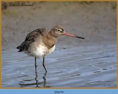 black-tailed-godwit- 79.jpg