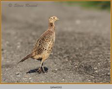 pheasant-16.jpg
