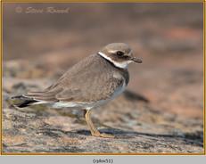ringed-plover-51.jpg