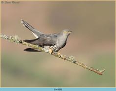 cuckoo-119.jpg