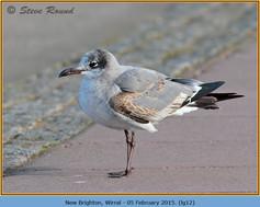 laughing-gull-12.jpg