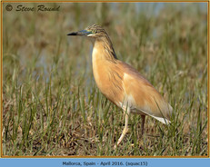 squacco-heron-15.jpg