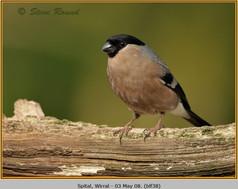 bullfinch-38.jpg
