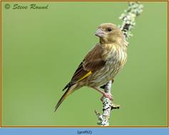 greenfinch-92.jpg