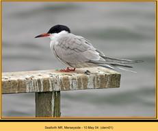 common-tern-01.jpg